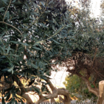 Sharing Sunday – Olive Branch